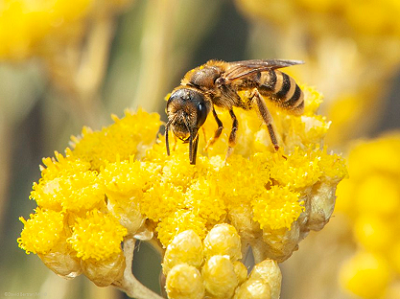 solitary_bee_yellow_0, Biodiversit#t.png