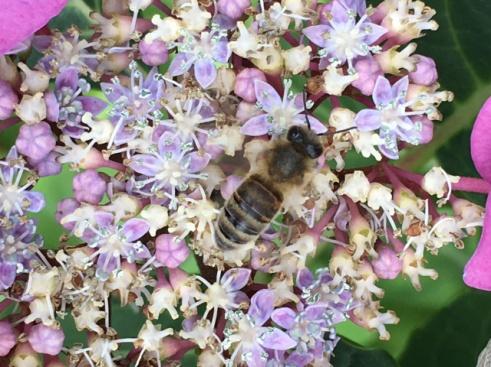 Wildbiene auf unserer Telerhortensie.jpg