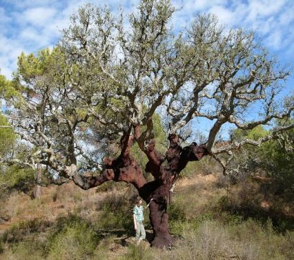 Krkeiche in der Algarve, Portugal, Hannes Grobe, wiki.jpg